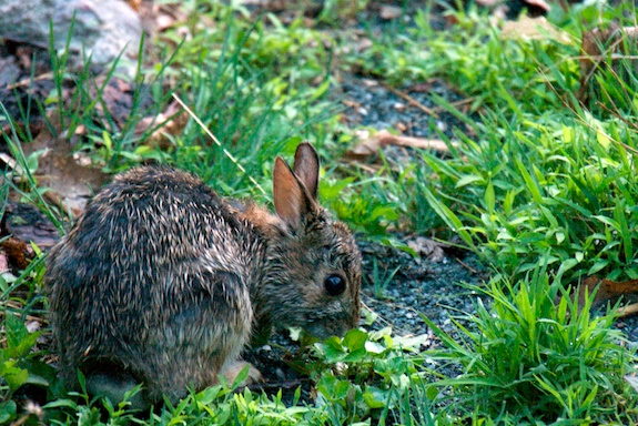 shenandoah bunny